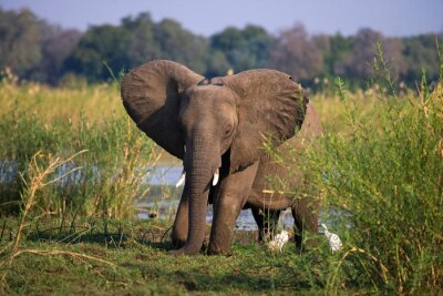 Fototapeta Slon stojící na trávě poblíž řeky Zambezi. Zambie. Snižte Národní park Zambezi. Zambezi. Vynikající ukázkou.