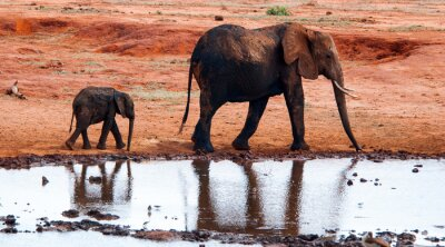 Fototapeta Slon v Národní park Tsavo East