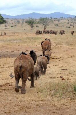 Fototapeta Slon v národním parku Keni