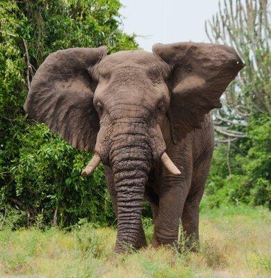 Fototapeta Slon v savaně. Střelba z horkovzdušného balónu. Afrika. Keňa. Tanzanie. Serengeti. Masai Mara. Vynikající ukázkou.