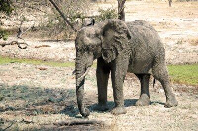 Fototapeta Slon v savaně - Tanzanie - Afrika