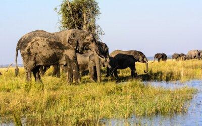Fototapeta Sloni pití z řeky Chobe