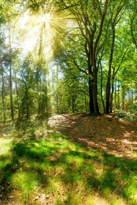 Fototapeta Sluneční paprsky prorazily korunách stromů v lese