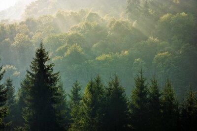 Fototapeta smrkový les na mlhavé svítání v horách