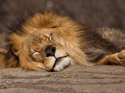 Fototapeta Spící lev