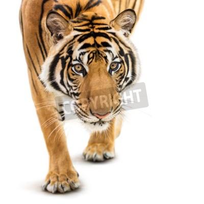 Fototapeta Stalking mladý sibiřský tygr na bílém pozadí