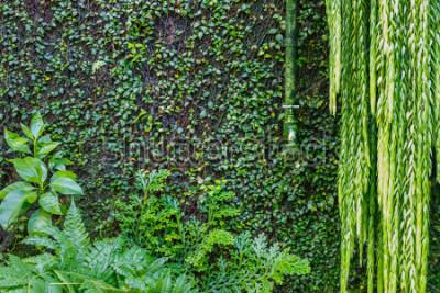 Fototapeta Stará zelená vodovodní baterie na zdi přerostlé zeleným břečťanem a plžhem, zelené zahradní pozadí. Mokré zelené rostliny
