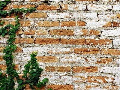 Fototapeta Staré cihlové zdi s liána