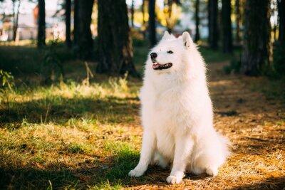 Fototapeta Šťastný White Samoyed pes venku v lese