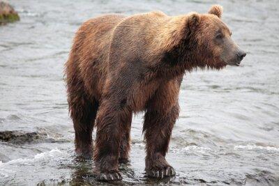Fototapeta stojící medvěd, Katmai