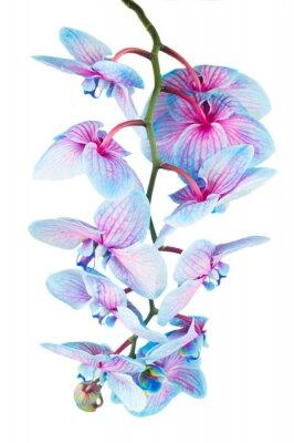 Fototapeta stonek modrých orchidejí
