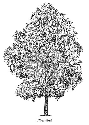 Stribrny Briza Strom Ilustrace Kresba Rytina Inkoust Linka