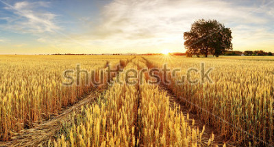 Fototapeta Stromové a pšeničné pole