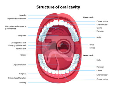 Fototapeta Structure of oral cavity. Human mouth anatomy