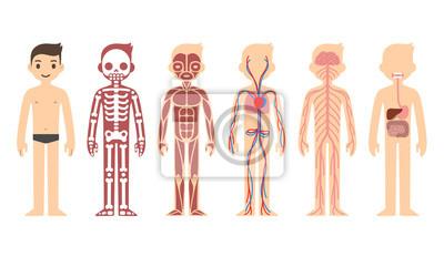 Fototapeta Stylizované mužské tělo anatomie grafu: kosterní, svalová, oběhová, nervové a trávicí systém. Byt kreslený styl.