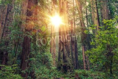 Fototapeta Sunny Redwood Forest v severní Kalifornii, Spojené státy americké. Lesní téma.