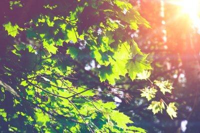 Fototapeta Sunny Zelená javorové listy