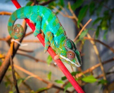 Fototapeta Světlé a barevné chameleon sedí na větvi