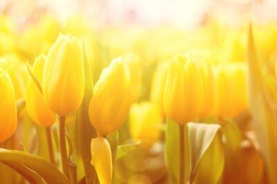 Fototapeta Světlé květinové pozadí se žlutými tulipány a sluníčko světelný efekt