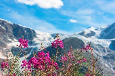 Fototapeta Swiss APLS s divokými růžové květy
