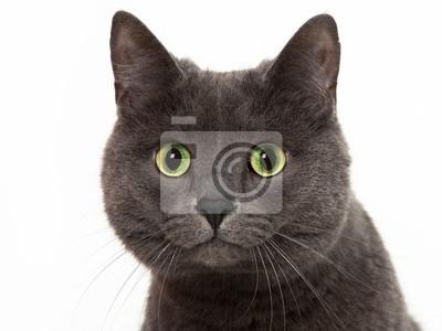 Asijské těsné kočička