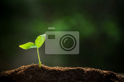 Fototapeta The Sapling are growing from the soil with sunlight