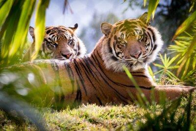 Fototapeta Tiger Brothers