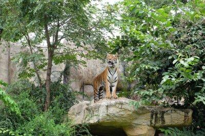 Fototapeta Tiger je divoký rychlost.