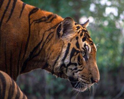 Fototapeta Tiger portrét bengálského tygra