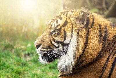 Fototapeta Tiger profilu se stránkami slunce na vaší tváři