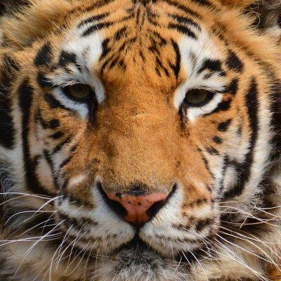Fototapeta Tiger tvář Detailním
