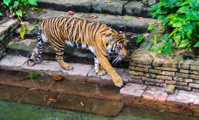 Fototapeta Tiger v blízkosti napajedlo