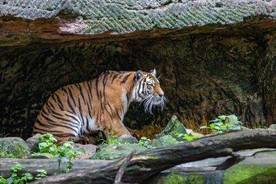 Fototapeta Tiger v jeskyni