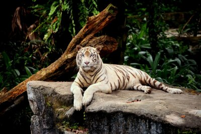 Fototapeta tigre allongé