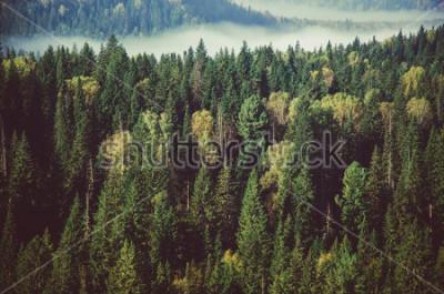 Fototapeta tlustá mlha pokrytá hustým jehličnatým lesem.