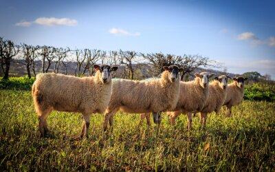 Fototapeta Tradycyjne angielskie Owce