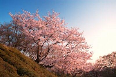 Fototapeta Třešňové květy na Kijomizu-dera, Kyoto, Japonsko