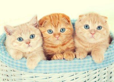 Fototapeta Tři malé koťata v koši