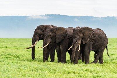 Fototapeta Tři sloni stojí v řadě na Ngorongora dno kráteru