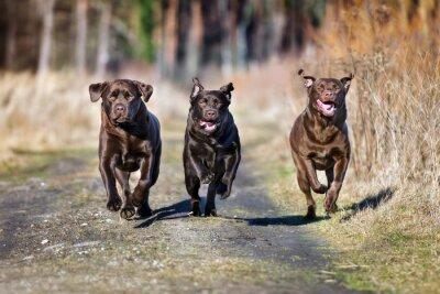 Fototapeta Tři šťastné psi běží společně