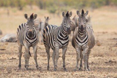 Fototapeta Tři zebry, Kruger Park, Jižní Afrika
