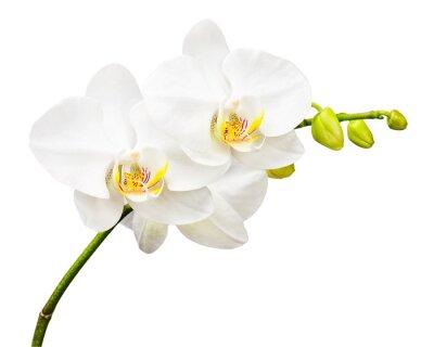 Fototapeta Třídenní staré orchideje izolovaných na bílém pozadí.