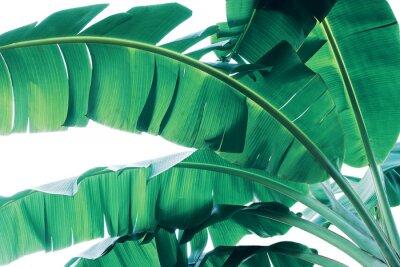 Fototapeta Tropical green leaves pattern on white background, lush foliage of banana palm leaves the tropic plant.