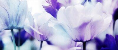 Fototapeta tulipány azurová fialová ultra lehká