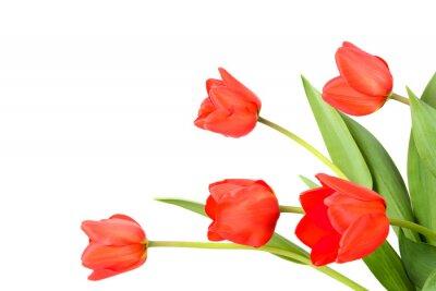 Fototapeta Tulipány na bílém pozadí