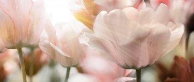 Fototapeta tulpen licht sonnenstrahlen