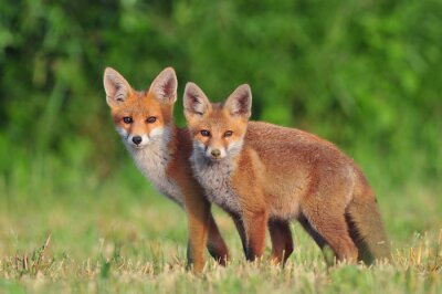 Fototapeta Two red foxes
