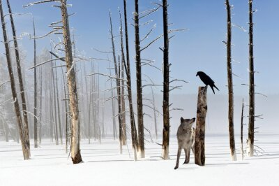 Fototapeta Two seconds to live - Wolf and Raven