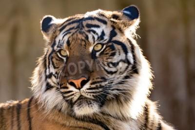 Fototapeta Tygr sumaterský (Panthera tigris sumatrae) je vzácný tygr poddruh udělal obývá indonéské Island Sumatra