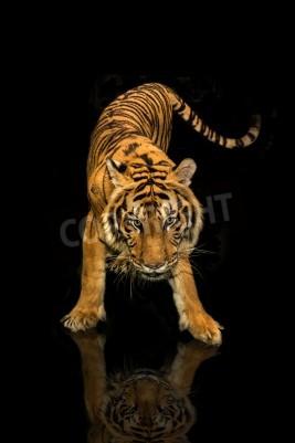 Fototapeta tygří chůzi černé pozadí